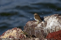 Actitis hypoleucos; Common sandpiper; Drillsnäppa