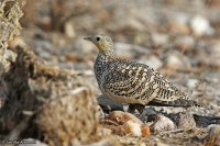 Pterocles exustus; Chestnut-bellied sandgrouse; Brunbukig flyghöna
