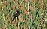 Agelaius thilius; Yellow-winged blackbird; Gulvingad trupial
