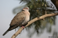 Streptopelia decipiens; [African] Mourning-collared dove; Sorgduva