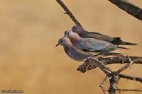 Streptopelia senegalensis; Laughing dove; Palmduva