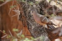 Turtur chalcospilos; Emerald-spotted wood-dove; Smaragdfläckduva