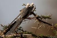 Colius leucocephalus; White-headed mousebird; Vithuvad musfågel