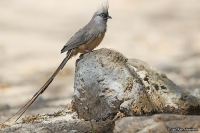 Colius striatus; Speckled mousebird; Vitkindad musfågel