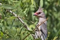 Urocolius macrourus; Blue-naped mousebird; Blånackad musfågel