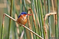 Corythornis [Alcedo] cristata; Malachite kingfisher; Malakitkungsfiskare