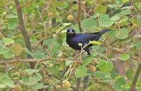 Molothrus bonairensis; Shiny cowbird; Glanskostare