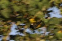 Bycanistes brevis; Silvery-cheeked hornbill; Silverkindad näshornsfågel