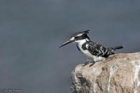 Ceryle rudis; Pied kingfisher; Gråfiskare