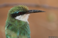 Merops revoilii; Somali bee-eater; Somaliabiätare