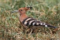 Upupa epops; Eurasian hoopoe; Härfågel