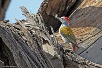 Dendropicos goertae; [African] Grey woodpecker; Gulbukig askspett
