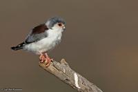 Polihierax semitorquatus; Pygmy falcon; Afrikansk pygméfalk