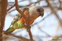 Poicephalus rufiventris; Red-bellied [African orange-bellied] parrot; Rödbukig papegoja