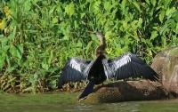 Anhinga anhinga; Anhinga [Snakebird, Darter]; Ormhalsfågel