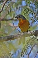 Telophorus sulfureopectus; Sulphur-breasted bushshrike; Orangebröstad busktörnskata