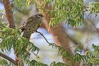 Campephaga flava; Black cuckoo-shrike; Svart nålfågel
