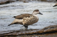 Lophonetta specularioides; Patagonian crested duck; Tofsand