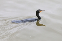 Phalacrocorax brasilianus mexicanus; [Northern] Neotropic cormorant; [Nordlig] Amazonskarv