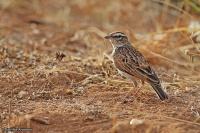 Calendulauda africanoides; Fawn-coloured lark; Isabellalärka