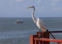Ardea alba; Great white egret [heron]; Ägretthäger