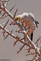Creatophora cinerea; Wattled starling; Flikstare