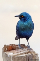 Lamprotornis chalybaeus; Greater blue-eared glossy starling; Blåkindad glansstare