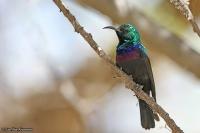 Cinnyris mariquensis; Marico [Mariqua] sunbird; Mariquasolfågel