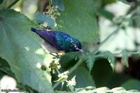 Cinnyris mediocris; Eastern double-collared sunbird; Höglandssolfågel