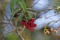 Nectarinia tacazze; Tacazze sunbird; Tekezésolfågel