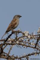 Passer griseus; Gray-headed sparrow; Bysparv