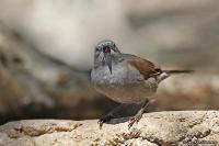 Passer swainsonii; Swainson's sparrow; Swainsonsparv