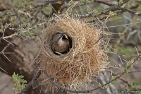 Plocepasser donaldsoni; Donaldson-Smith's sparrow-weaver; Vitkindad sparvvävare