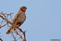 Amadina fasciata; Cut-throat finch; Blodstrupsamadin