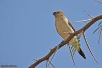 Euodice cantans; African silverbill; Afrikansk silvernäbb