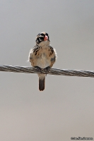 Vidua macroura; Pin-tailed whydah; Dominikaneränka