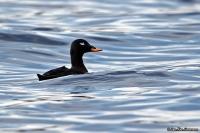 Melanitta fusca; Velvet scoter [duck]; Svärta