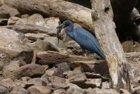 Egretta caerulea; Little blue heron; Blåhäger