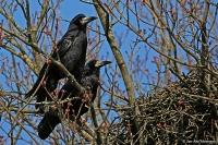 Corvus frugilegus; Rook; Råka