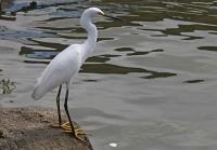 Egretta thula; Snowy egret; Snöhäger