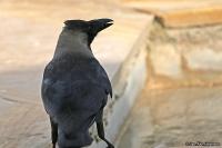 Corvus splendens; [Indian] House crow; Huskråka