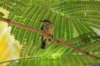 Chalcomitra senegalensis; Scarlet-chested sunbird; Karmosinbröstad solfågel