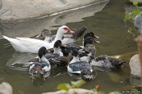 Cairina moschata; Muscovy duck; Myskand
