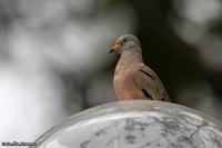 Columbina cruziana, Croaking ground-dove; Guldnäbbad markduva