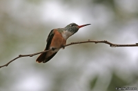 Amazilia amazilia; Amazilia hummingbird; Amaziliasmaragd