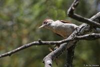 Veniliornis callonotus; Scarlet-backed woodpecker; Rödryggig hackspett