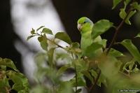 Forpus coelestis; Pacific [Lesson's] parrotlet; Stillahavssparvpapegoja