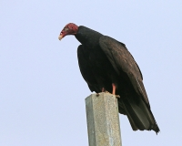 Cathartes aura; Turkey vulture; Kalkongam