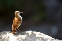 Furnarius leucopus; Pale-legged hornero; Ljusbent hornero