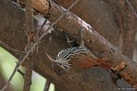 Lepidocolaptes souleyetii; Streak-headed woodcreeper; Streckhuvad trädklättrare